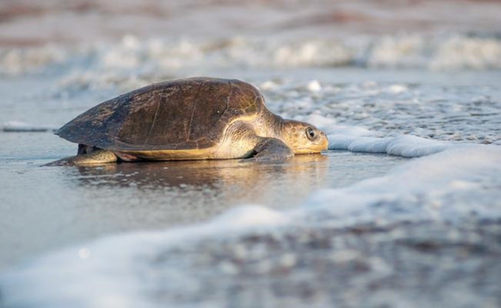 Top Olive Ridley sea turtle facts