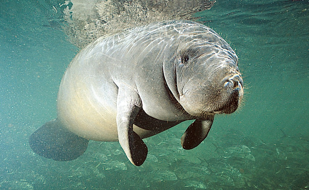 Mysterious manatee deaths in Mexico