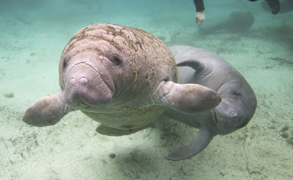 PEMEX's wells near the manatee sanctuary are closed