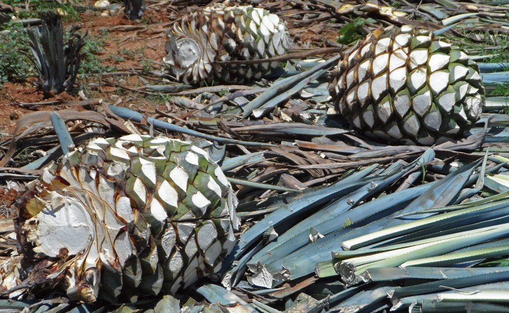 Mexican researchers produce activated carbon from agave