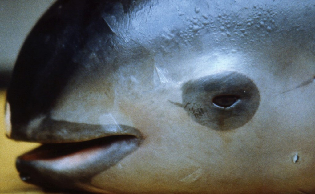 The man responsible for the Vaquita's extinction is arrested