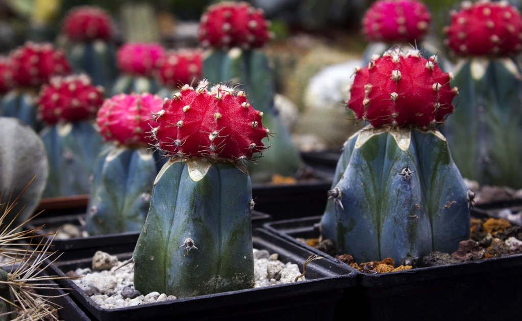 Mexico has the most cacti in the world