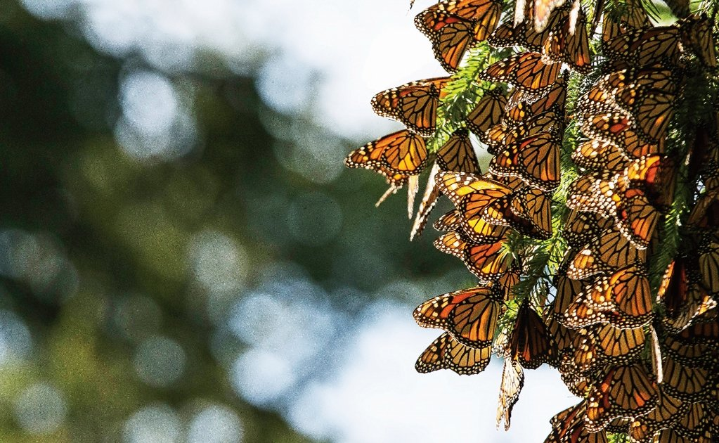 Mexico launches app to monitor monarch butterflies