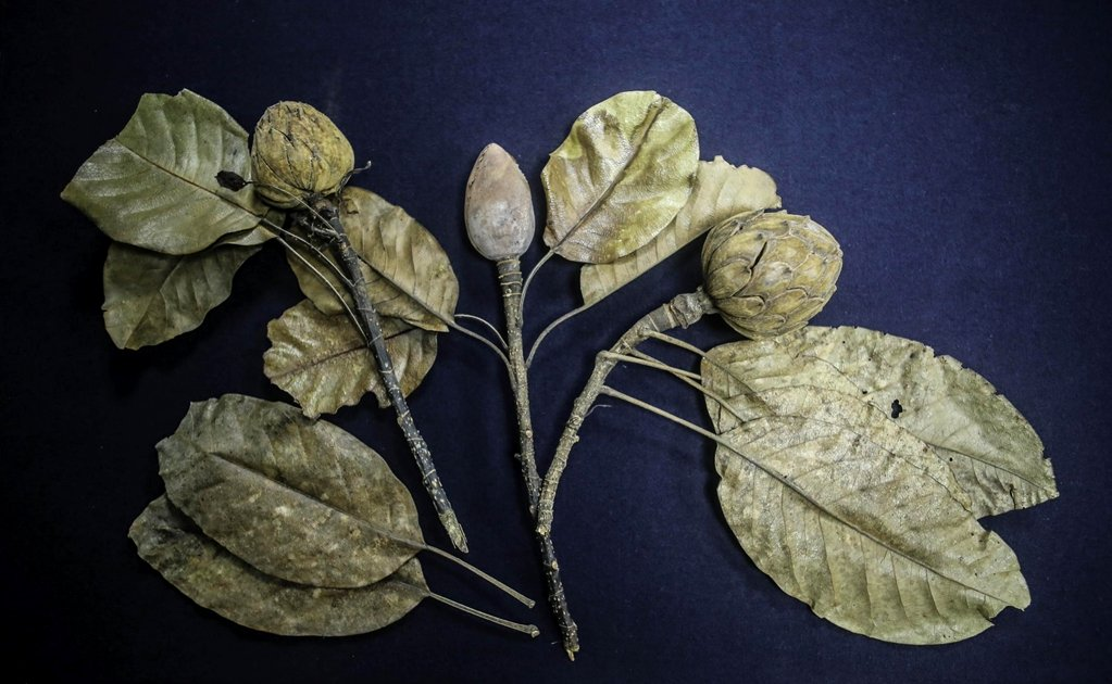New magnolia species discovered in Mexico