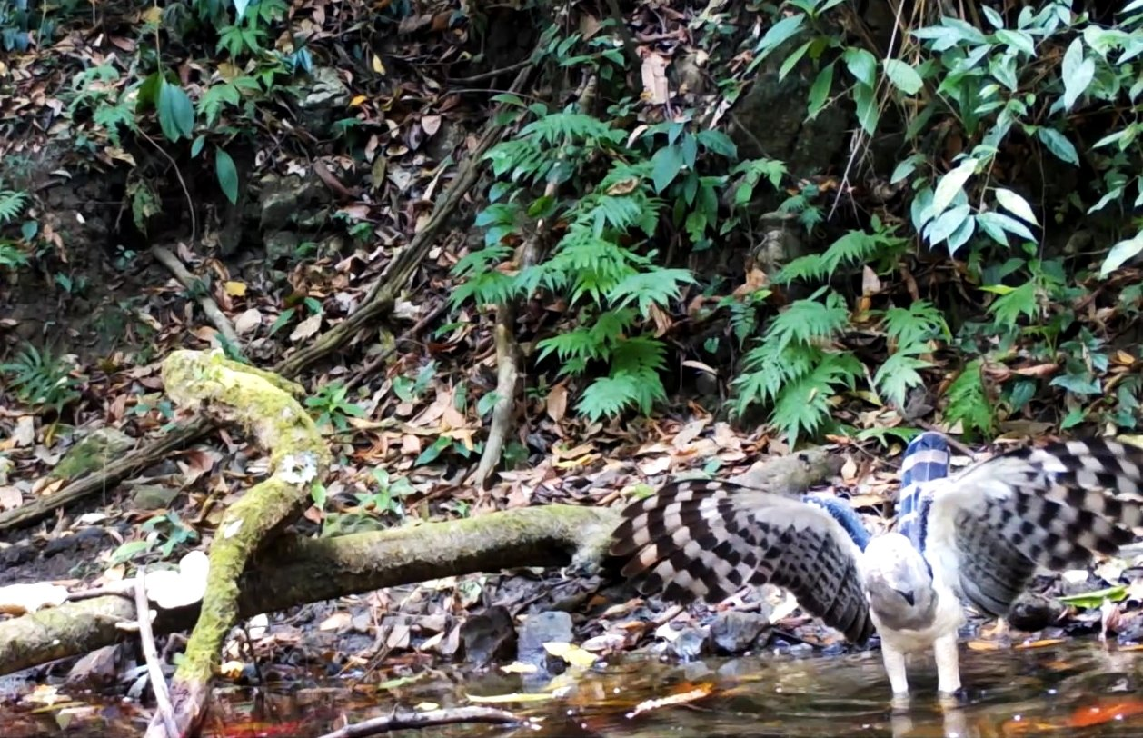 First footage of crested eagle captured in Mexico