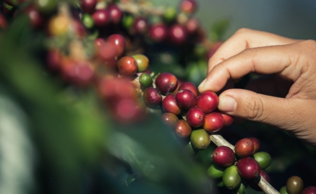 Starbucks supports Mexican coffee farmers
