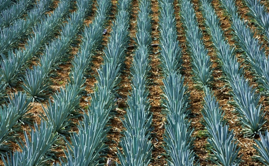 Silk made from agave