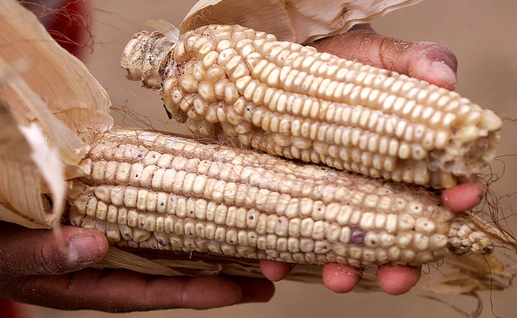Indigenous Mexican corn threatened by U.S. biopiracy
