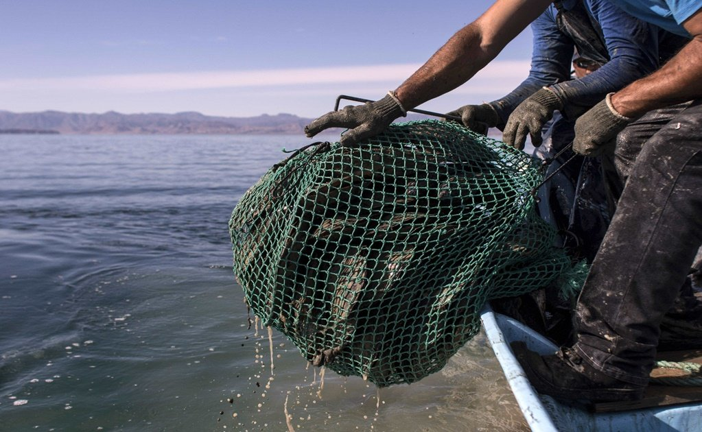 Without surveillance, illegal fishing of totoaba is on the rise
