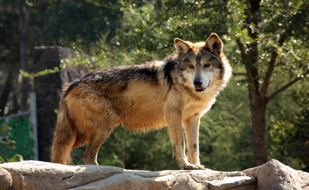 WWF and Raúl Jiménez work together to save the Mexican wolf
