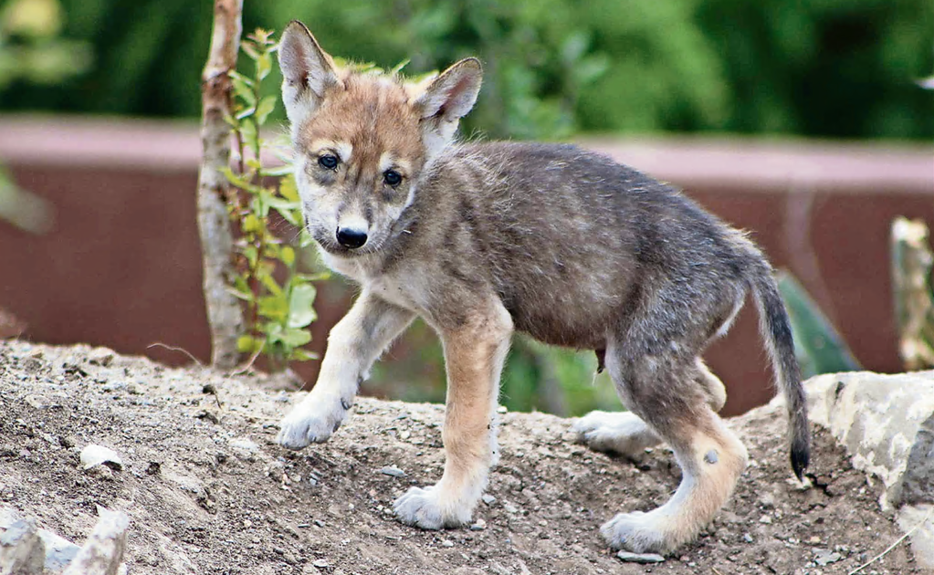8 Mexican gray wolf pups were born in Coahuila