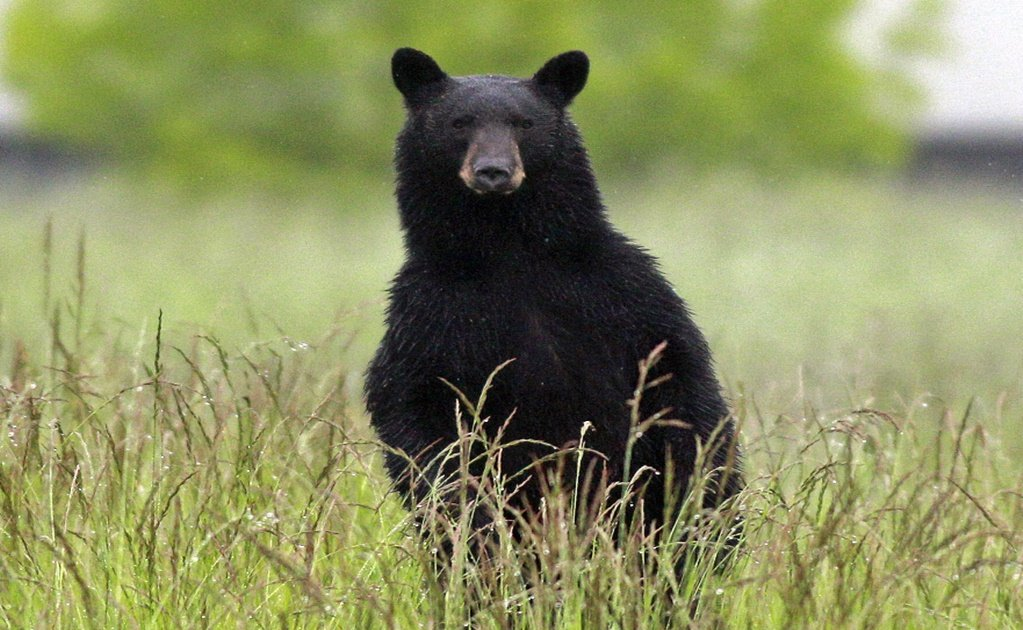 Over-friendly black bear caught by Mexico wildlife officials in Nuevo León