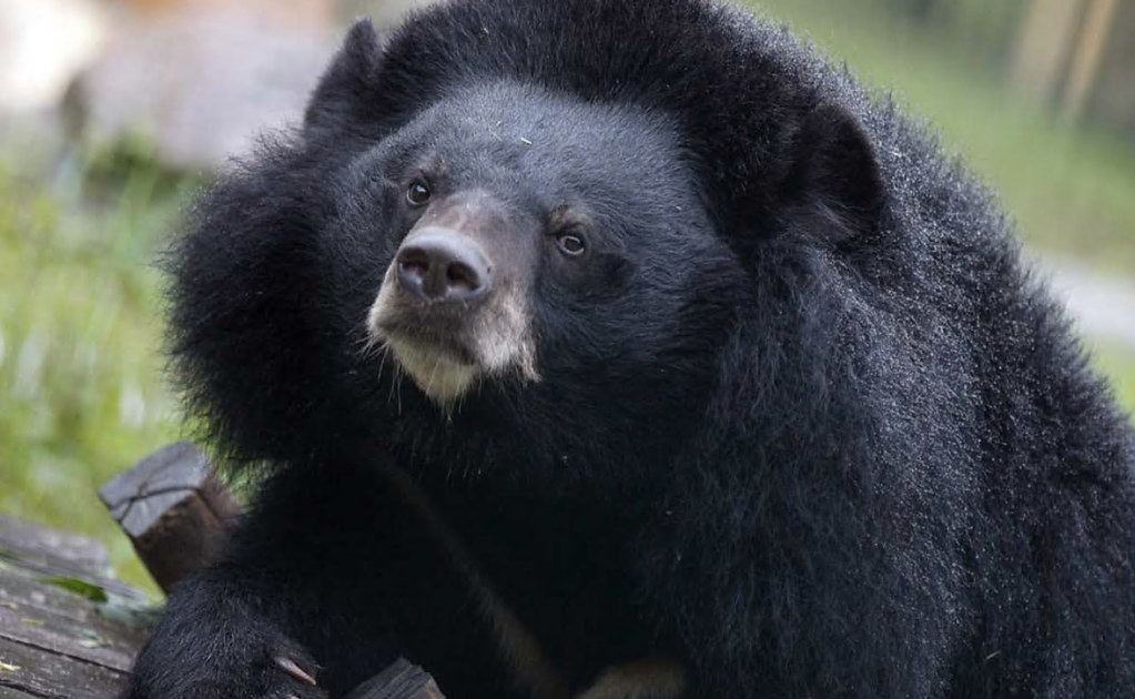 Videos show over-friendly black bear approaching people in Nuevo León, Mexico