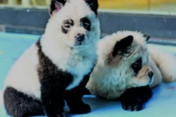 Perros pandas en China adorable tendencia o crueldad animal