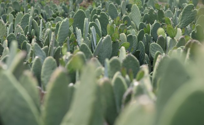 China seeks to register the Mexican nopal