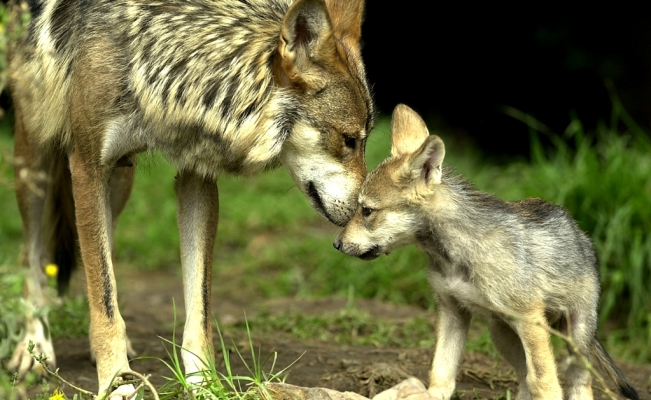 8 Mexican wolf cubs are born in Mexico City