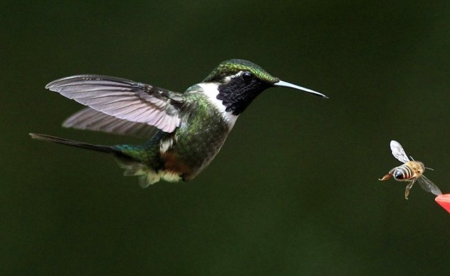 Creating gardens all over the city to save hummingbirds