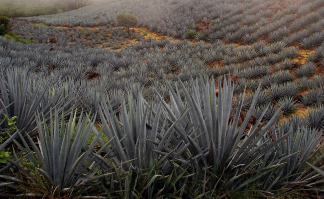 80% of tequila is exported to the U.S.