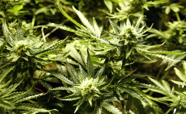 Mexico and Switzerland will use Cannabis to treat diabetes and depression
