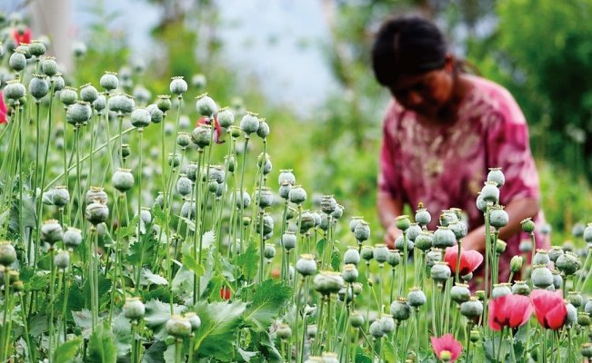 Mexico Congress receives initiative to legalize opium poppy