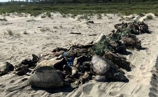 Fishing net in Oaxaca kills 350 endangered sea turtles