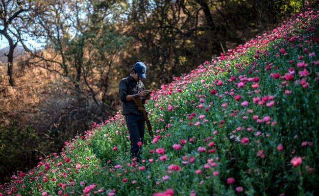 Illegal opium poppy cultivation increases in Mexico