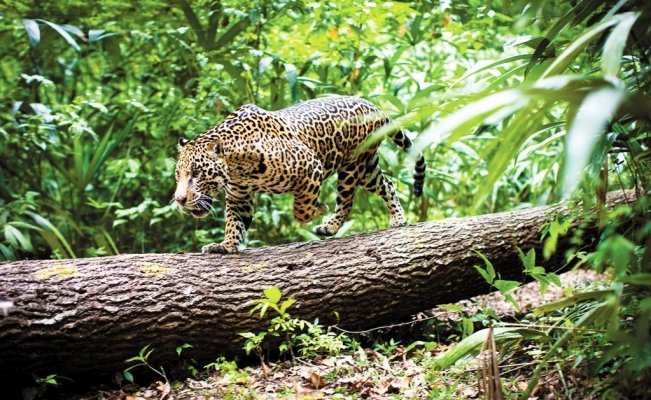 Mayan Train puts more than 2,000 jaguars at risk