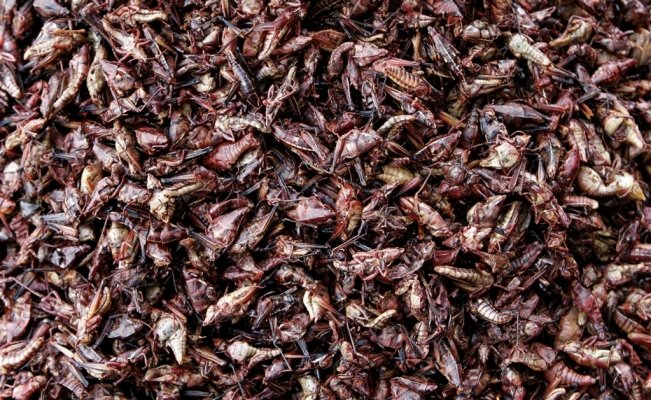 Surprising health benefits of eating grasshoppers