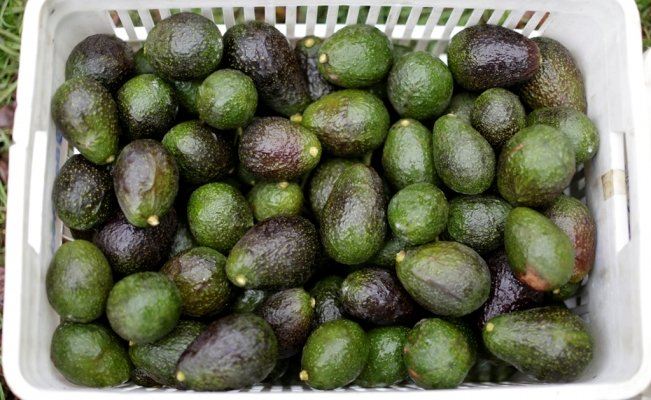 Mexico exports 120K tons of avocado for Super Bowl LIII