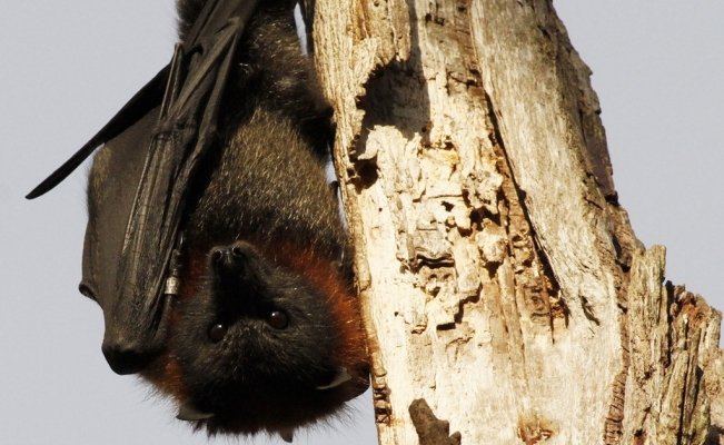 Only bats can save tequila
