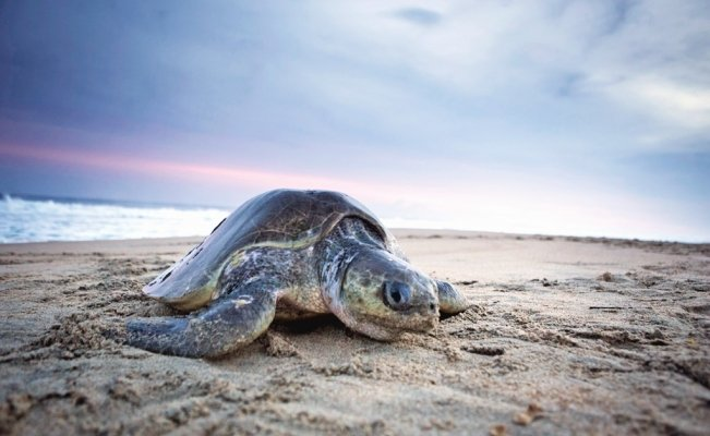 69 turtles and 1 dolphin found dead on Mexican beach