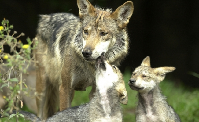 6 Mexican wolf cubs born in Tamaulipas, Mexico