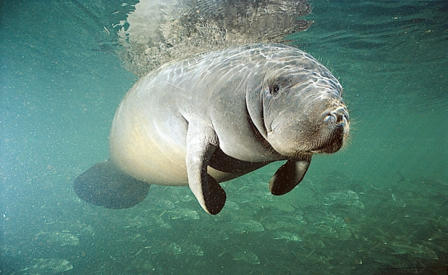 Manatees endangered for breach of rules in Mexico