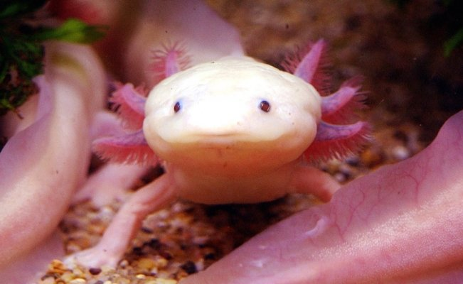 The Mexican women protecting axolotls