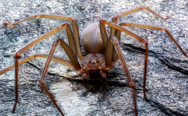 New recluse spider species discovered in Mexico