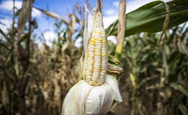 Mexican scientists create eco-friendly insecticide to save corn