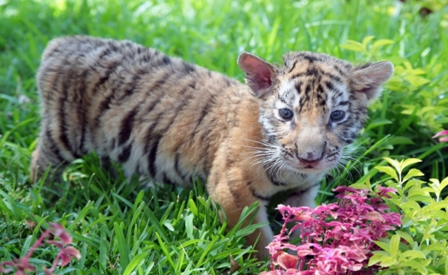 Covid, the baby Bengal tiger born in a Mexican zoo