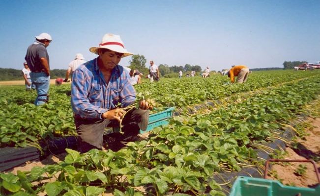 19 Mexican agricultural workers have contracted COVID-19 in Canada