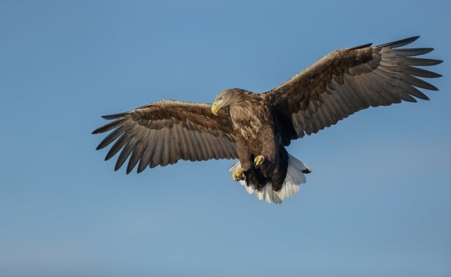 White-tailed eagle is seen in England after 240 years   The universal thumbnail