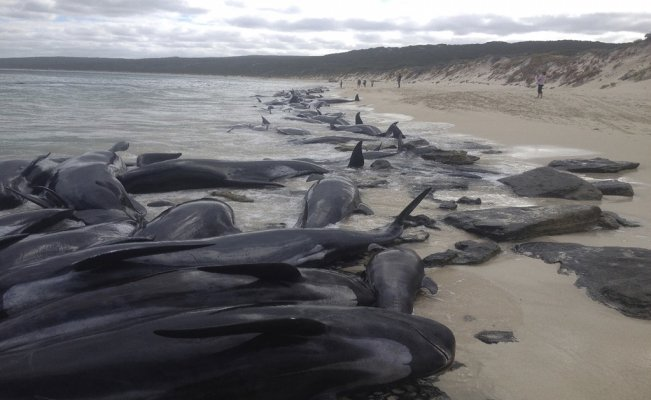 Nearly 400 whales dead in worst mass stranding in Australia's history
