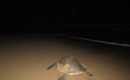 Endangered sea turtles lay eggs on Mexican beach