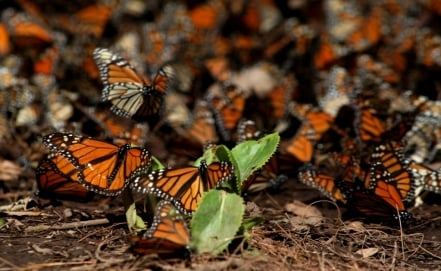 Monarch butterfly swarms