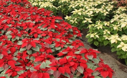 National Poinsettia Germplasm Bank to be developed