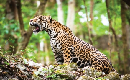 Jaguar population increases in Mexico