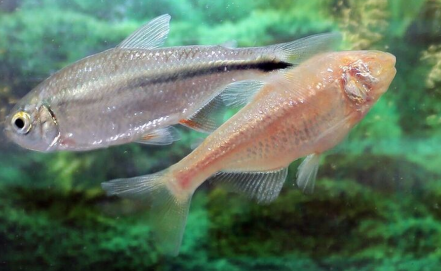 Mexican fish could be the key to regenerating the human heart