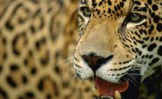 Jaguar population in Mexico is increasing