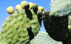Michoacán businessman produces fuel made from cacti