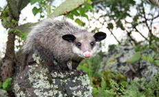 Fun facts about the Mexican Tlacuache