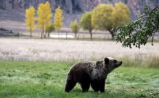 "Juez cancela cacería ""legal"" de oso grizzly en parque Yellowstone, EU"