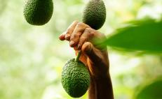 Avocado, from Mexico to the world